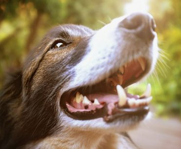 Will dog teeth grow back