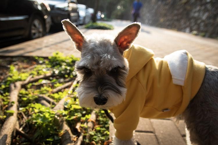 8 Best Dog Foods for Schnauzer